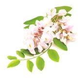 Flower acacia. Stock Photo