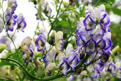 A flower of the aconite in macrophotography. Beautiful but strongly poisonous garden plant in rustic garden. A flower of the aconite in macrophotography Stock Photos