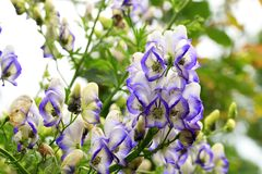 A flower of the aconite in macrophotography. Beautiful but strongly poisonous garden plant in rustic garden. A flower of the aconite in macrophotography Stock Photo