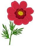 Flower adonis Stock Image