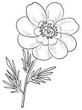 Flower adonis, contours Royalty Free Stock Photos