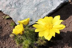 Flower Adonis. Flowers adonis blossoming in the garden in early spring Royalty Free Stock Photo