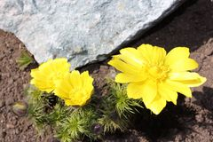 Flower Adonis. Flowers adonis blossoming in the garden in early spring Royalty Free Stock Photography