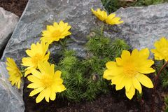 Flower Adonis. Flowers adonis blossoming in the garden in early spring Stock Photos