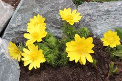 Flower Adonis. Flowers adonis blossoming in the garden in early spring Stock Photo