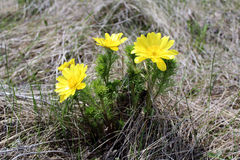 Flower adonis. Picture of adonis flowers on the background of last year's grass Stock Images