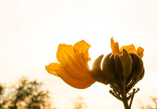 Flower of african tulip tree with sunlight Royalty Free Stock Image