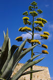 Flower of an agave on a background of the blue sky Stock Image
