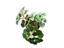 Flower aichryson or  tree of love. Home flower, Aichryson nature cultivation green plant soil Stock Photo