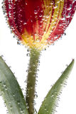 Flower with air bubbles. Tulip covered with air bubbles Stock Images