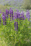 Flower Alaskan Lupine Iceland. Purple Flower Alaskan Lupine in Iceland Royalty Free Stock Photo