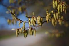 Flower alder. Close up.Blue background.Macro shot Royalty Free Stock Photos