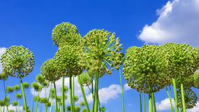 Flower (Allium) against the blue sky Royalty Free Stock Photography