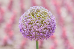 Flower of Allium Giganteum Opening Royalty Free Stock Photography