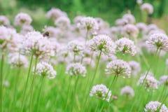 Flower Allium rotundum Stock Image