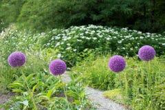 Flower Allium rotundum Stock Photo