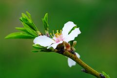 Flower Almond Tree stock photos