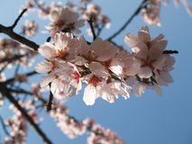 Flower of the almond tree. A group of flowers of the almond tree on a blue sky on a shinny spring day stock images