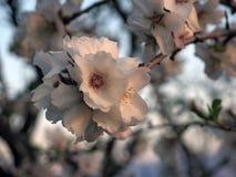 Flower on Almond Tree Stock Photo