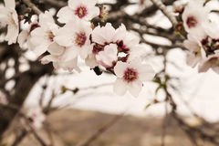 Flower of the almond tree Stock Photography