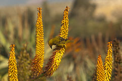 Flower of Aloe ferox Stock Images