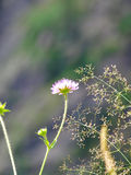Flower in the alpin mountain in Switzerland Royalty Free Stock Photo