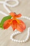 Flower of Alstroemeria Royalty Free Stock Image