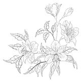 Flower alstroemeria, contour. Flowers alstroemeria, vector, monochrome contours on a white background Stock Image
