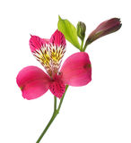 Flower of Alstroemeria Stock Photography