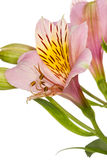Flower Alstroemeria Stock Image