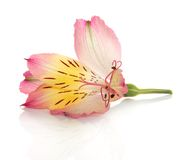 Flower of alstroemeria lily with dew Royalty Free Stock Image