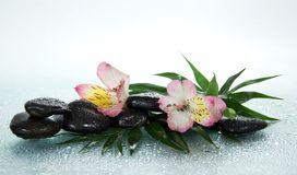 Flower of an alstroemeria and stones in drops Stock Photos