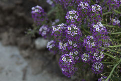 Flower Alyssum Pink Queen Stock Photography