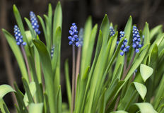 Flower. Amazing blue flower large green leaves. Small purple flowers. Stock Photo