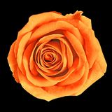 Flower amber orange rose isolated on black background. Close-up. Nature royalty free stock photo