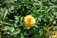 Flower of amber yellow rose cultivar. In May royalty free stock photography