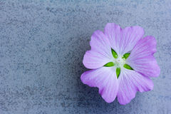 Flower amethyst color on a blue background with space for text Royalty Free Stock Image