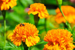 Flower&Bee Lizenzfreies Stockbild