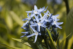 Flower of amsonia ciliata Royalty Free Stock Photography