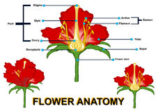 The flower anatomy Stock Photography