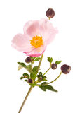Flower is Anemone Stock Image