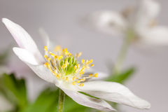 Flower anemone. Royalty Free Stock Image
