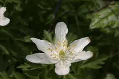 Flower Anemone close-up. Flower Anemone nemorosa in a spring forest Stock Image