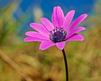 Flower anemone Royalty Free Stock Photos