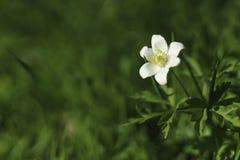 Flower Anemone nemorosa Royalty Free Stock Photo