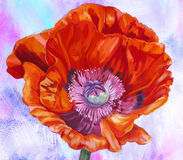 Flower Anemone. Red Anemone flower on a colored background royalty free illustration