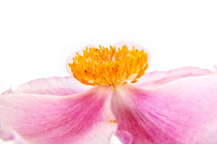 A flower is Anemone Stock Photo