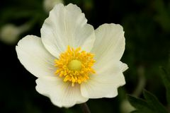 Flower of Anemone sylvestris Royalty Free Stock Photography
