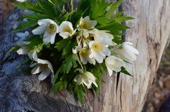 Flower anemone stock photography