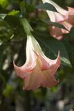 Flower Angel's Trumpet or Brugmansia Stock Image